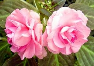 เทียนบาน-Garden Balsam