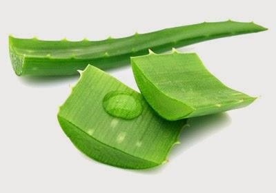 ว่านหางจระเข้-Aloe vera